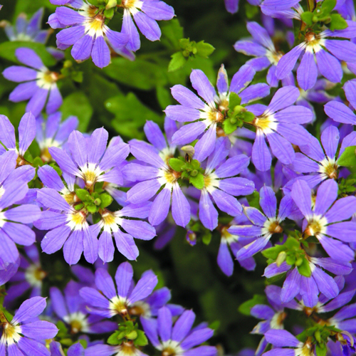 Scaevola Blue Ribbons