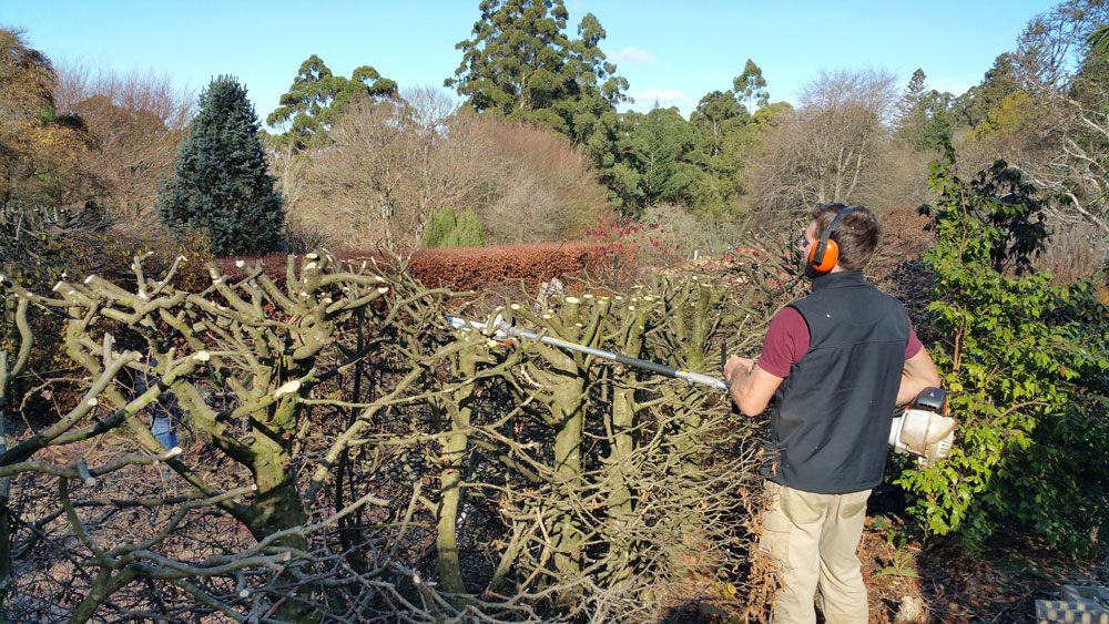 Pruning the hornbeam